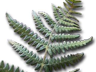 Plantas en extremadura for Planta ornamental helecho nombre cientifico